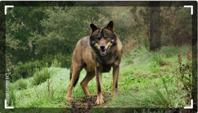 volontariat loup portugal IWRC raton reveur blog